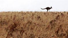 A kangaroo bounds across the horizon at Glenburnie in South Australia. (Image: ABC/Kate Hill)