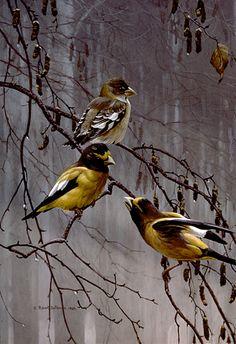 Artist/Naturalist ROBERT BATEMAN (Canadian: 1930) | Painting...Evening Grosbeaks