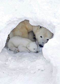Baby Polar Bears, Cute Polar Bear, Cute Baby Animals, Animals And Pets, Wild Animals, Beautiful Creatures, Animals Beautiful, Mother Bears, Bear Cubs