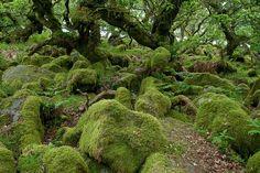 Wistman's Wood in Dartmoor National Park in England. It is one of ...
