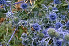 Vibrant blue sea holly had a striking pop of purple to our gardens. This thistle is an excellent cut flower and a favorite nectar source for our bees.
