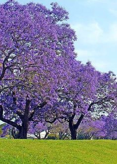 Jacaranda tree as significant landscape tree to the courtyard. Amazing Gardens, Beautiful Gardens, Beautiful Flowers, Beautiful Places, Beautiful Beautiful, Trees And Shrubs, Flowering Trees, Trees To Plant, Purple Flowering Tree