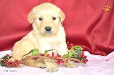 Golden Retriever Puppy for Sale in Indiana http://www.buckeyepuppies.com/puppy-for-sale/golden-retriever/frisky-4