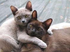 Burmese Kittens Cute burmese kittens - #singapuracat -Tops Cat Breeds at Catsincare.com!