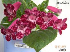 Kohleria 'Pendulina'