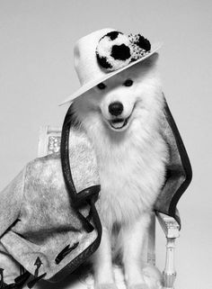 Smilefever Samoyed...dressed to the nines! I love this pic! Thanks Yorgo for sharing all you beautiful Pics of your Beautiful Samoyeds! 0:D