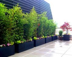 Rooftop bamboo trees container garden