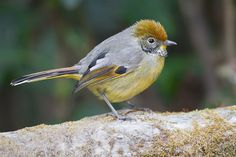 From Wikiwand: Bar-throated minla