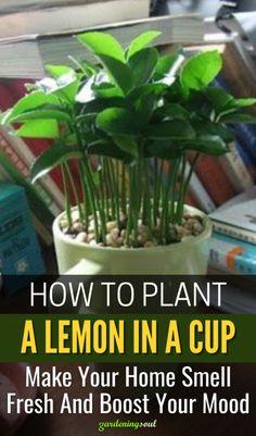 Growing Vegetables, Growing Plants, Garden Plants, House Plants, Lemon Plant, Household Plants, Household Tips, Best Indoor Plants, Indoor Herbs