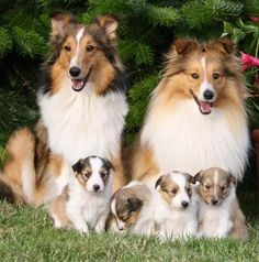 ~ NOT SURE IF SHELTIES OR COLLIES, REGARDLESS VERY PRETTY FAMILY ~