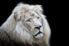 White lion. Talk about majestic.