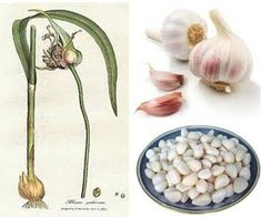 Garlic For Dogs - Health Benefits, Preparation and Use, Safe Dosage  Garlic is a powerful, natural broad-spectrum antibiotic. Garlic is also an antioxidant, anti-allergen, and anti-carcinogen - garlic contains germanium, an anti-cancer agent. Garlic can also be used topically to treat specific ailments - for example ear mite infestation and ear infections...
