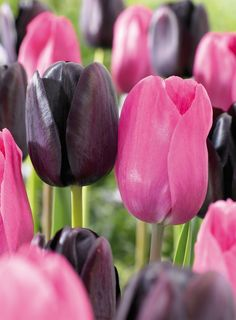 One of the most beautiful, tall pink tulips. It gives huge flowers and is a real golden oldie. You get the largest tulip bulbs for the largest flowers. Tulips Flowers, Amazing Flowers, My Flower, Spring Flowers, Beautiful Flowers, Black Tulips, Pink Black, Purple Tulips, Tulip Bulbs