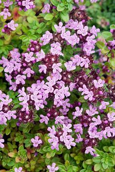 Thymus Serpyllum On Pinterest Ground Cover Plants Thyme