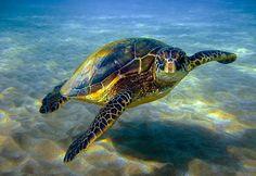 السلاحف الخضراء مهددة بالانقراض... والسبب النفايات
