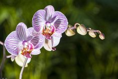 Elegant and delicate, orchids have a mystique all their own. With blooms that last up to four months(and re-bloom for years on end), they make a great hostess gift, houseplant, or replacement for ...