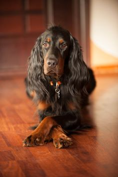 Beautiful Gordon Setter