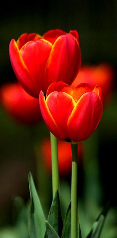 Tulips by: Texas Eagle