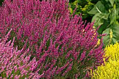 Plants like Scotch heather (Calluna vulgaris) prevent erosion and don't need watering or much other care. Zones 5–7. | Photo: Doreen Wynja | thisoldhouse.com