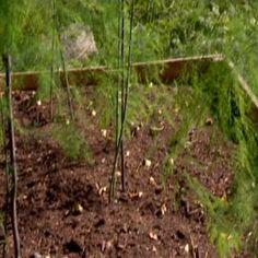 Dyrketips asparges