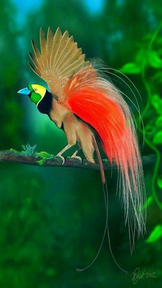 Colorful birds - Raggiania bird-of-paradise. This was another bird whose feathers were well sought after as accessories for women's hats at the turn of last century.