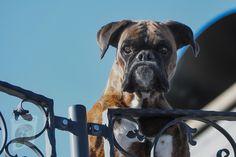 Dog Training Classes, Best Dog Training, Training Courses, Training Tips, Best Guard Dogs, Best Dogs, Guard Dog Breeds, Dog Hot Spots, Boxer Dog Breed