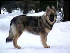 American Alsatian is a large breed of domestic dog. American Alsatian is a calm dog with a low working drive. American Alsatian is genera. Wolf Dog Breeds, Guard Dog Breeds, Large Dog Breeds, Best Dog Breeds, Wolf Dogs, American Alsatian, American Indian Dog, Native American, Big Dogs