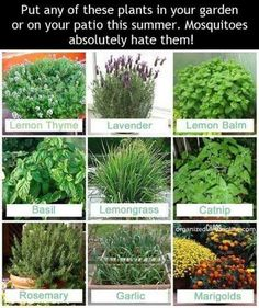 CLICK HERE> http://www.callinoffers.com/lp/689945060?ppcpn=8445063385 Plants to scare mesquitoes
