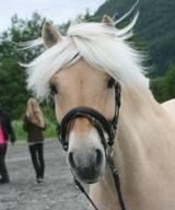 My beautiful norwegian fjordhorse, Poik. He´s a caracter. Promise!