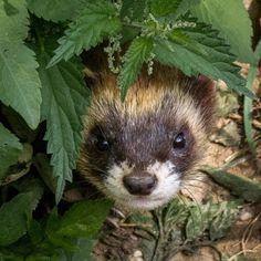 Polecat (Mustela putorius) hiding in vegetation. European Polecat, Ferrets, Red Panda, Forest Animals, Tobias, Badger, Otters, Animal Kingdom, Mammals