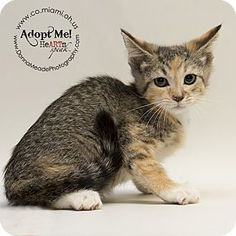 Pictures of Carlie a Domestic Shorthair for adoption in Troy, OH who needs a loving home.