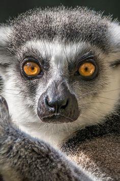 Ringtail Lemur Eyes by Helene Hoffman | Ringtail lemur ( Lemur catta) at the San Diego Zoo Safari Park. Conservation Status: Endangered