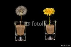 #Dandelion & #DandelionClock @fotolia @fotoliaDE #fotolia #flowerpower #flowers #concept #black #spring #season #soil #macro #closeup #details #seeds #stock #photo #portfolio #download #hires #royaltyfree