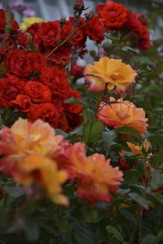 Roses in the Rose Garden, Powerscourt Gardens, Wicklow, Ireland. www.powerscourt.ie