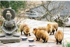 Raccoon dogs!  Nyctereutes procyonoides. One of my most favorite things