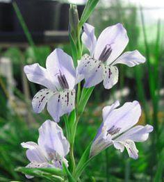Gladiolus caeruleus