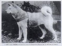 Despite the people's loving intentions, Hachiko basically lived as a stray. He would call no place home except where Dr. Ueno was, and since Dr. Ueno was nowhere, Hachiko had no home. He lived on the street, fought other dogs, and ate scraps and handouts. Hachiko got sick with worms and mange, but because so many people admired him he was given treatment by a veterinarian. Hachiko became an old, scarred dog, with one ear up and one ear down,