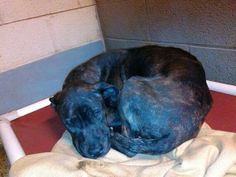 #WVIRGINIA #GassingShelter ~ Sweet Baby ID 2537 is a Hound mix who's UTD vaccines [[ 1 of 73 pets  listed on petfinder today 1-22-14 ]] & is in need of a loving #adopter / #rescue at HUMANE SOCIETY of RALEIGH COUNTY 325 Gray Flats Rd #Beckley WV 25802 rcpets@hotmail.com P 304-253-8921