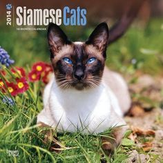Siamese Cats 2014 Wall Calendar: Legend has it that these former temple cats greeted the souls of the virtuous upon their deaths. Long and sleek, Siamese C Chat Web, Cat Calendar, Calendar 2014, Abyssinian, Cat Wall, Leopards, Siamese Cats, Cat Breeds, Lions