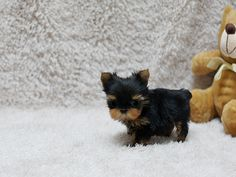 Teacup Yorkie Puppy omg i want him but my chunk of a child would smoosh him