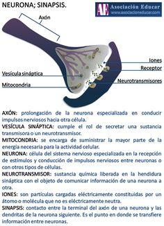 Infografía Neurociencias: Neurona; Sinapsis. | Asociación Educar