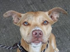 SAFE! - 1/11/14 Brooklyn Center  CHERISH - A0987934 *** HIT BY CAR ***  FEMALE, TAN, PIT BULL MIX, 1 yr STRAY - STRAY WAIT, NO HOLD Reason STRAY Intake condition INJ SEVERE Intake Date 12/21/2013, From NY 11236, DueOut Date 12/24/2013 https://www.facebook.com/photo.php?fbid=729923407020541&set=a.617942388218644.1073741870.152876678058553&type=3&theater