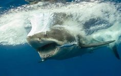 Splash Down - The intimidating display of a great white shark in full-on attack mode.