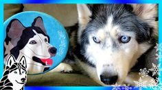 HUSKY ON A DOG TOY   Day 3 of 12 Days of Giveaways 2016  with the Huskies
