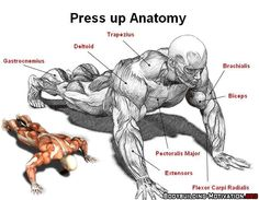 Press up anatomy