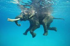 Isole Andamane. Rajan, un esemplare di 63 anni di elefante indiano, si concede una rilassante nuotata in mare . Rajan è celebre sull'Isola e tra i turisti per le sue doti nautiche