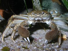 Chinese Mitten Crabs AKA: Eriocheir sinensis