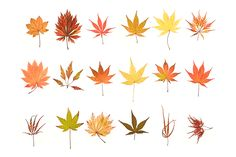 """thingsorganizedneatly: Japanese Maple leaves from the book """"Seeing Trees"""" published by Timber Press Most Beautiful Gardens, Beautiful Flowers, Maple Leaf Drawing, Japanese Maple Varieties, Maple Leaf Logo, Things Organized Neatly, Japanese Flowers, Autumn Leaves, Maple Leaves"""