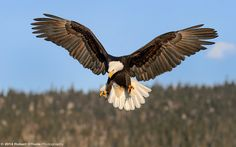Eagle-stalling-Robert-OToole-Photography-2014.JPG 1.280×800 piksel