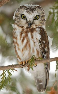 Northern Saw Whet Owl - ©Lise De Serres (via 1x)
